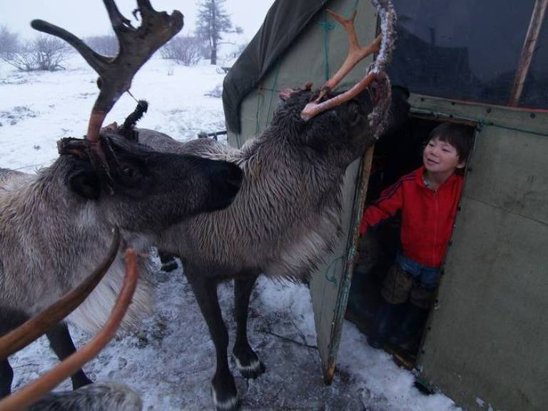 In the tundra there isn't a single family who doesn't have a domesticated reindeer. More often than not it's a little reindeer that was born weak. Tame reindeers often lost their mothers after they died at childbirth.