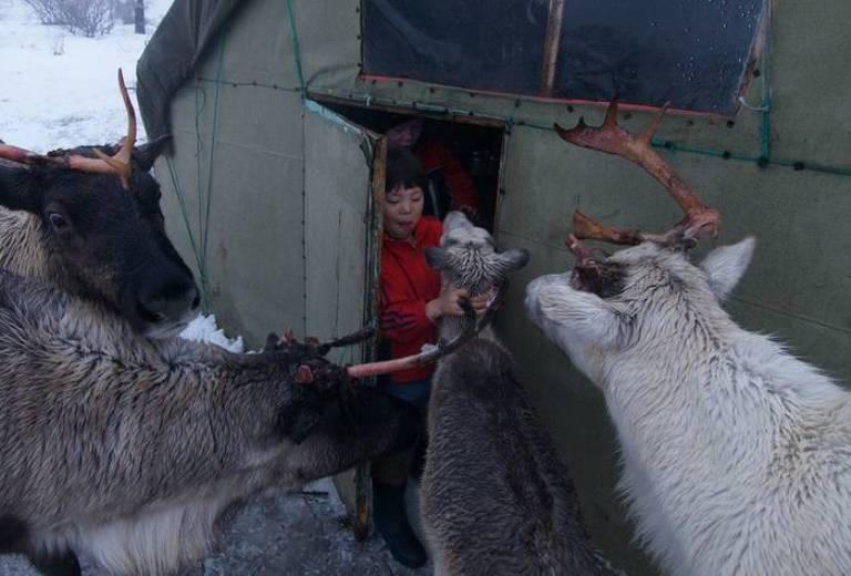 Both grown ups and children look after these small reindeers. At first, during the suckling period, it lives in the tent and sleeps, rests and eats in the area where its little owner has his bed. A tame reindeer has great practical use, stories abound about tame reindeers saving their master from some misfortune.