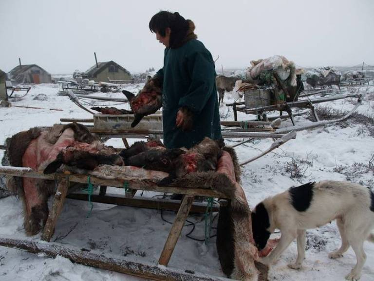 The basic food of the Nenets. Raw or boiled reindeer meat.