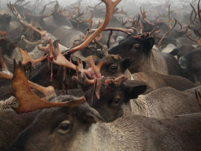 Nowdays the majority of reindeers are concentrated in herder cooperatives. In the whole district there are around 180 thousand reindeers.